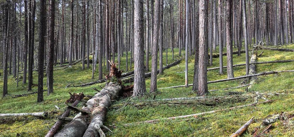 Lemmenjoen ikivanhaa suojelumetsää.