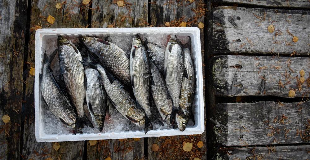Jäälaatikossa kalat pysyvät tuoreina.