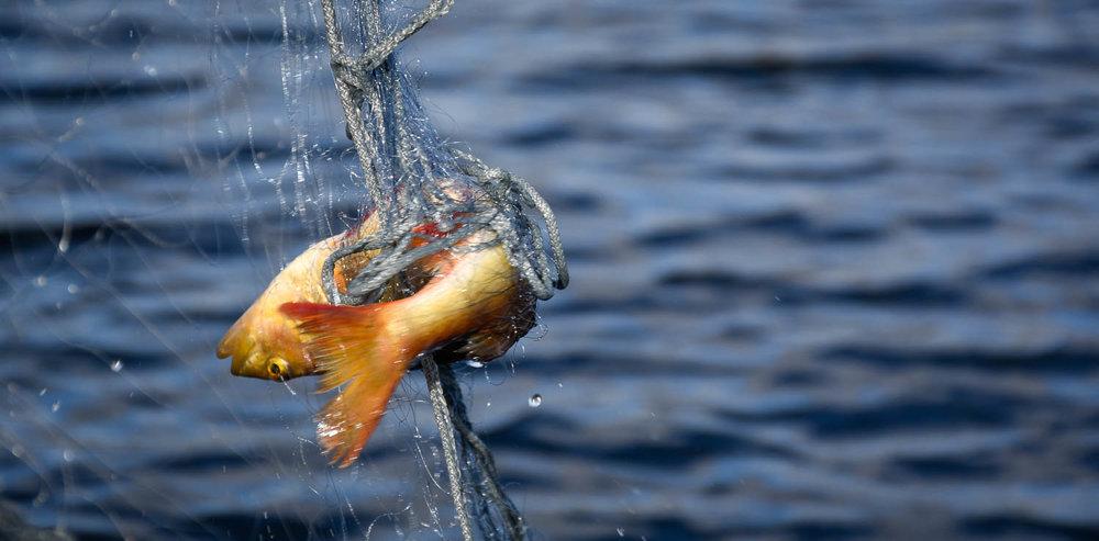 Kala verkoissa.