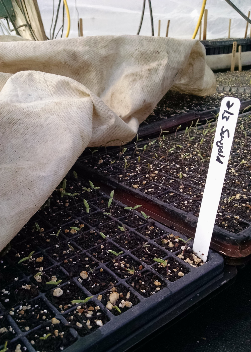 Sungold tomato seedlings getting tucked in for the night