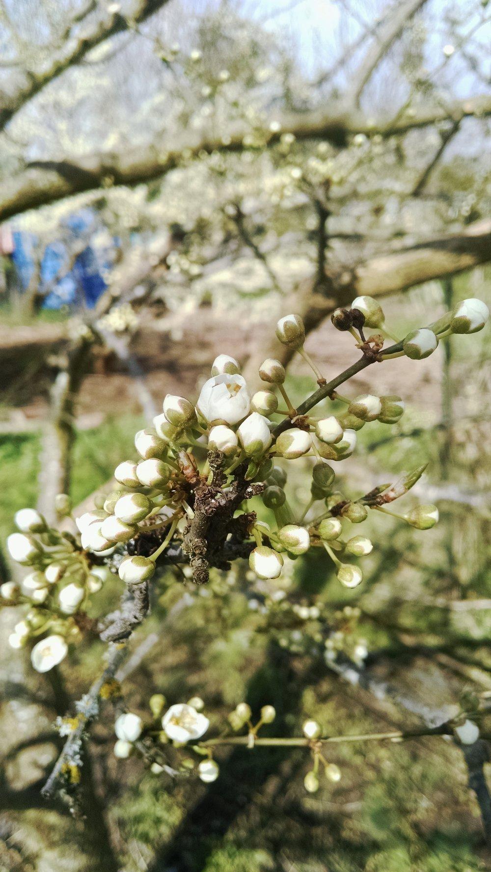 Plum blossoms breaking