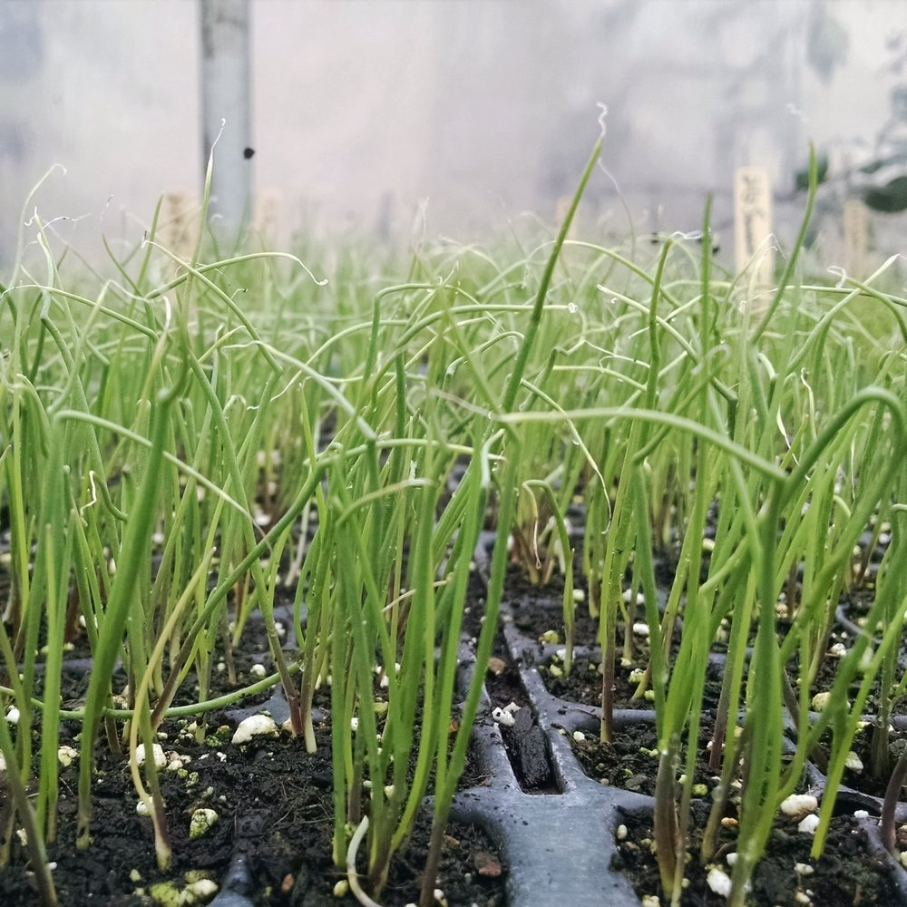 (Red) green onion seedlings