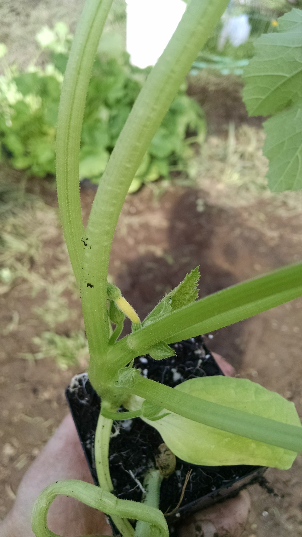Teeny yellow zucchini fruit already formed before transplanting
