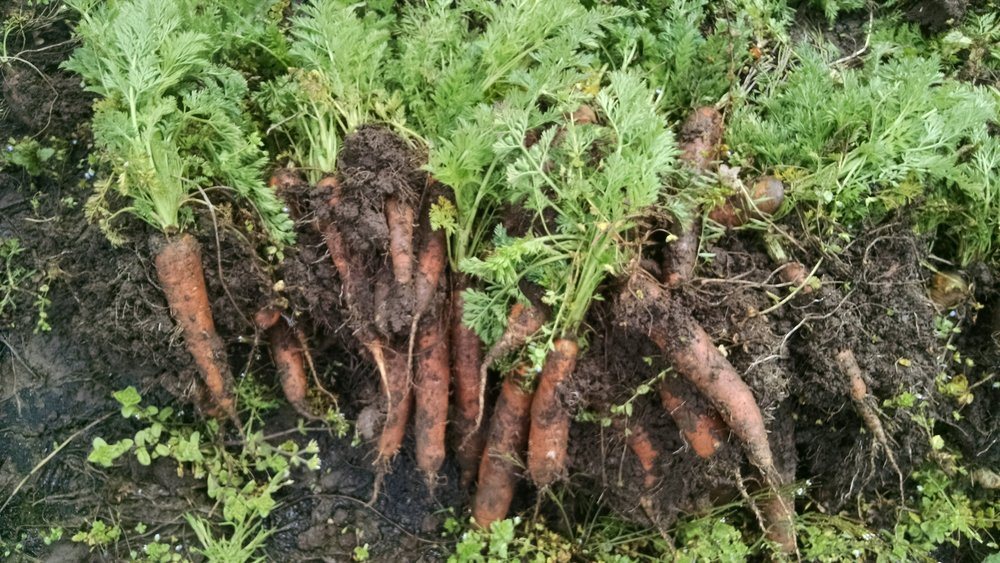 Crunchy, sweet overwintered carrots