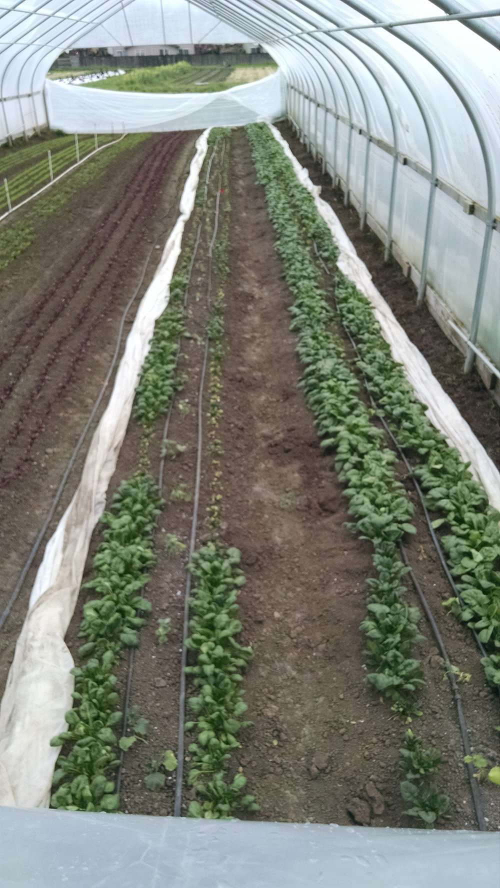Vantage: Closing up the high tunnels to notice spinach poppin' and cukes hanging on by a thread