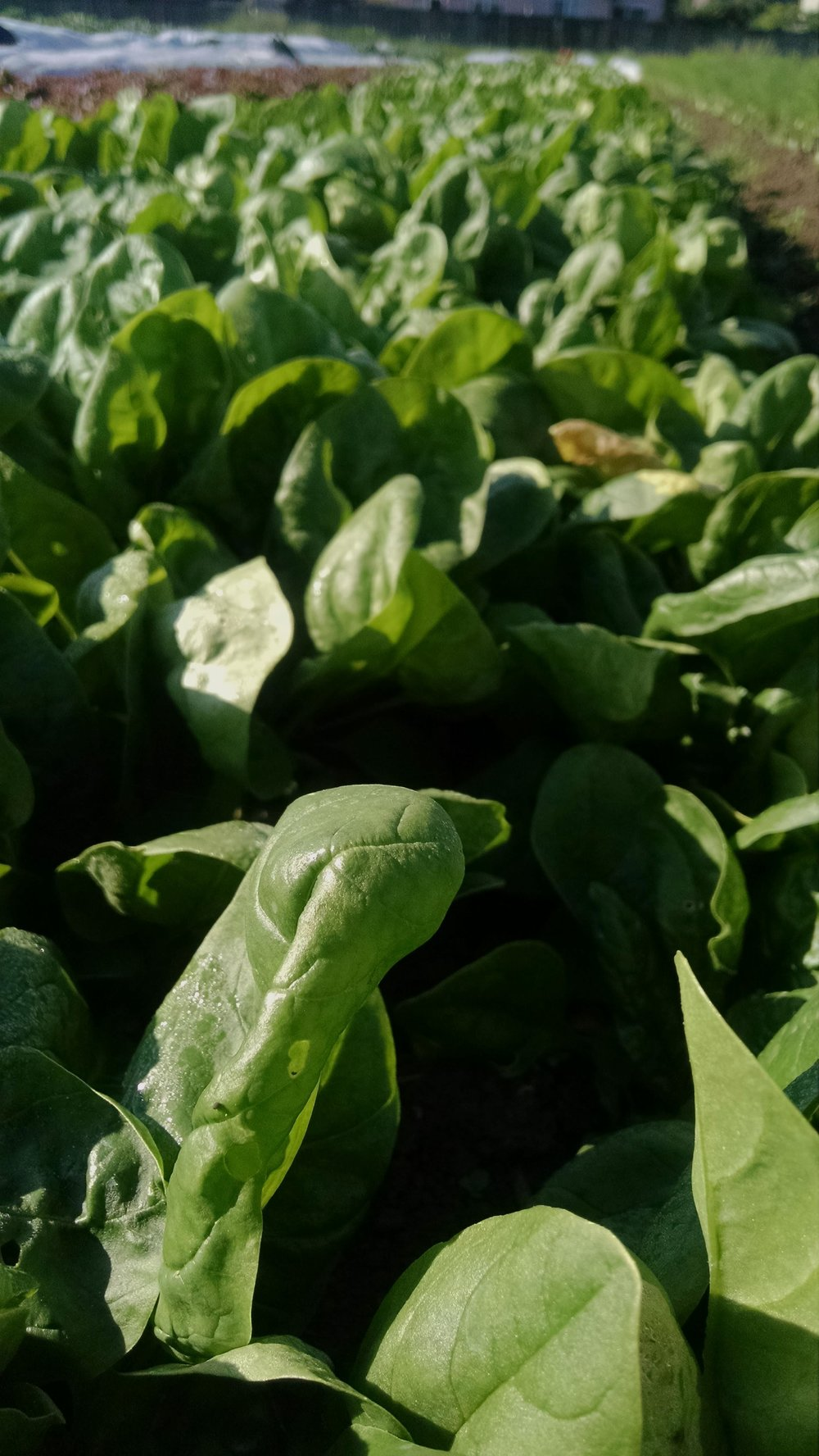 """Luscious spinach: this is already our third mature planting this spring. """"Best spinach ever!"""" -everyone"""
