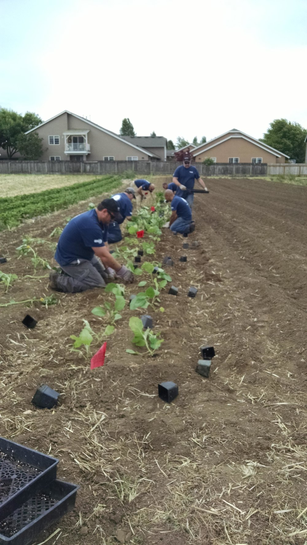 Volunteers planting eggplants