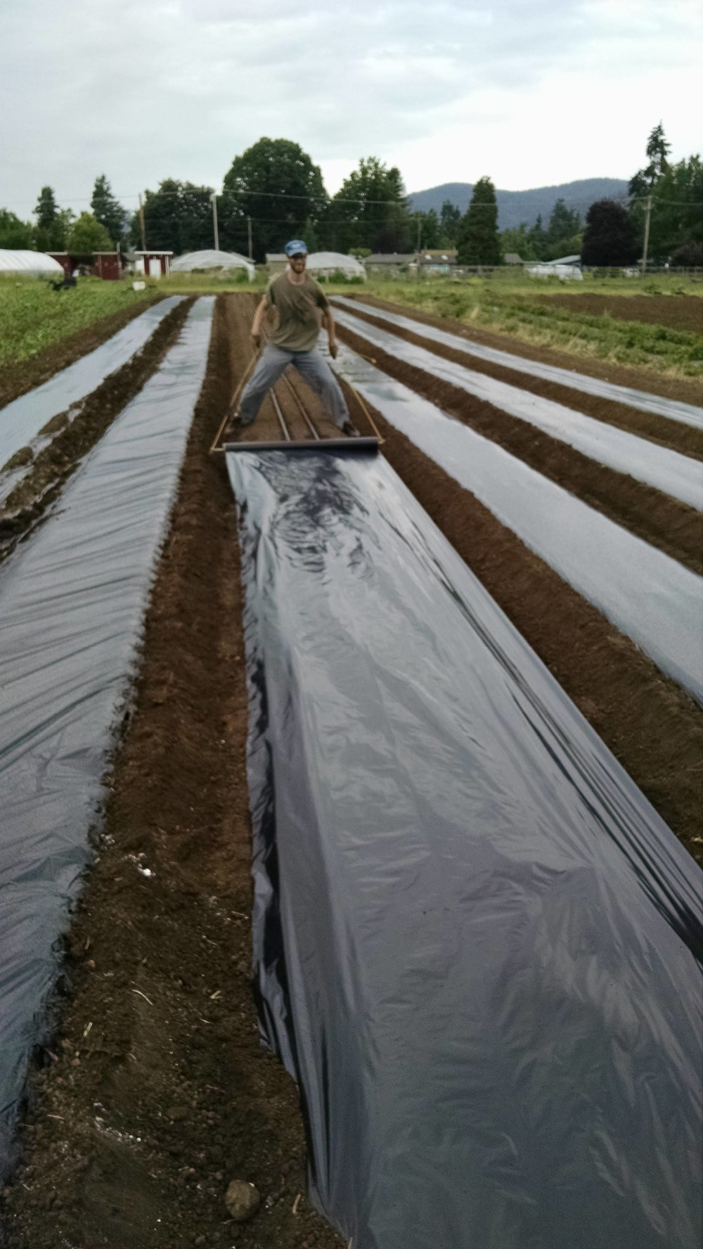Covering tomato beds with plastic