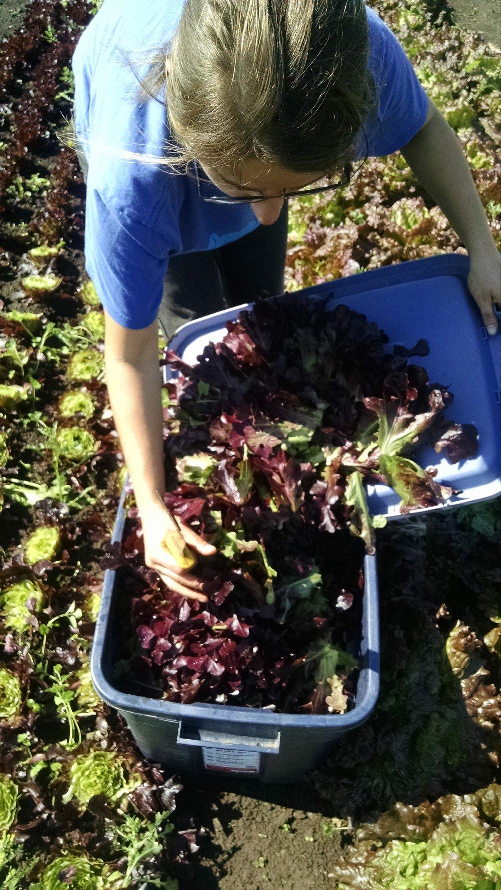 Rebecca harvesting salad mix
