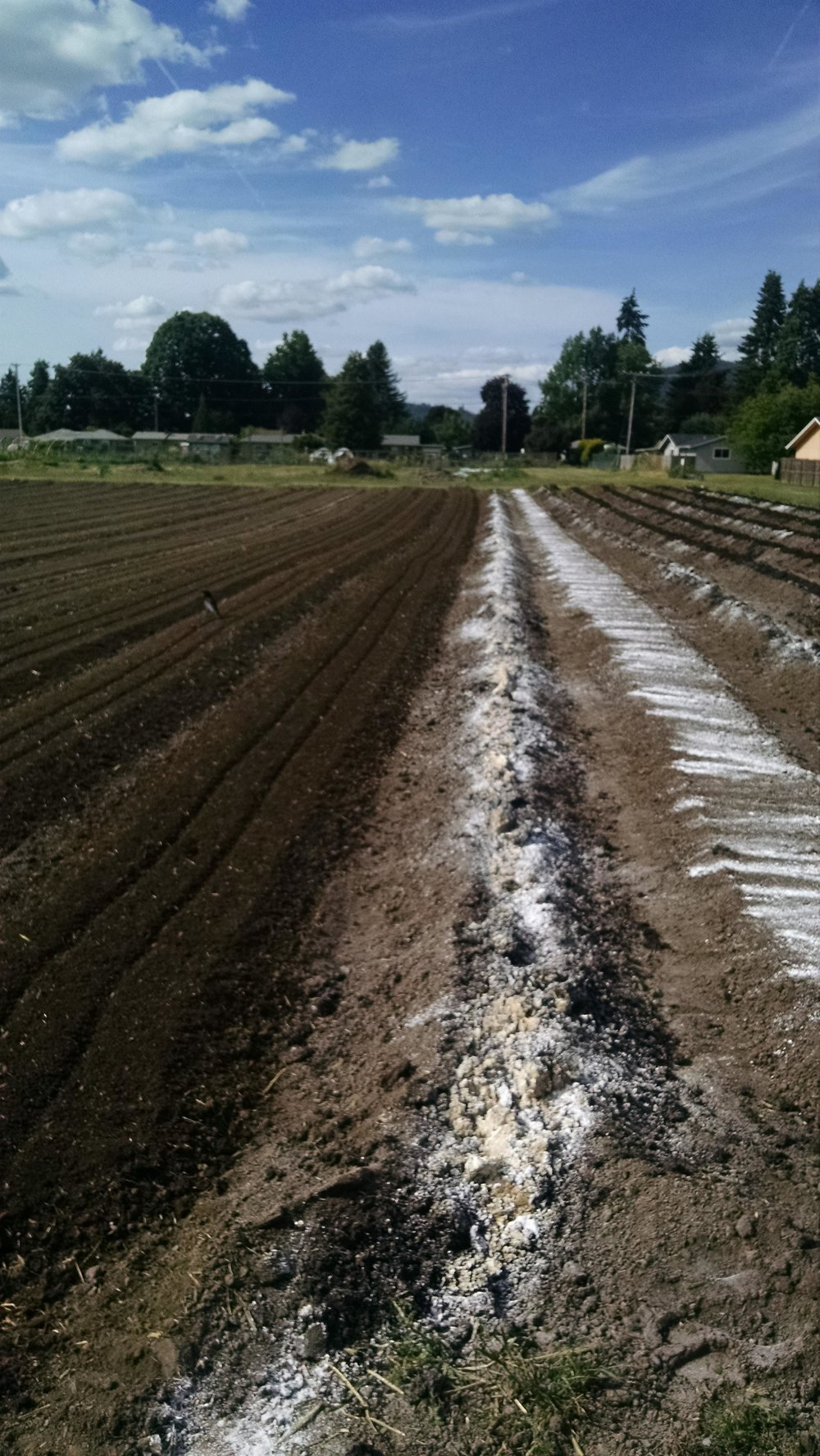 Final till of limestone and manure for the winter squash beds