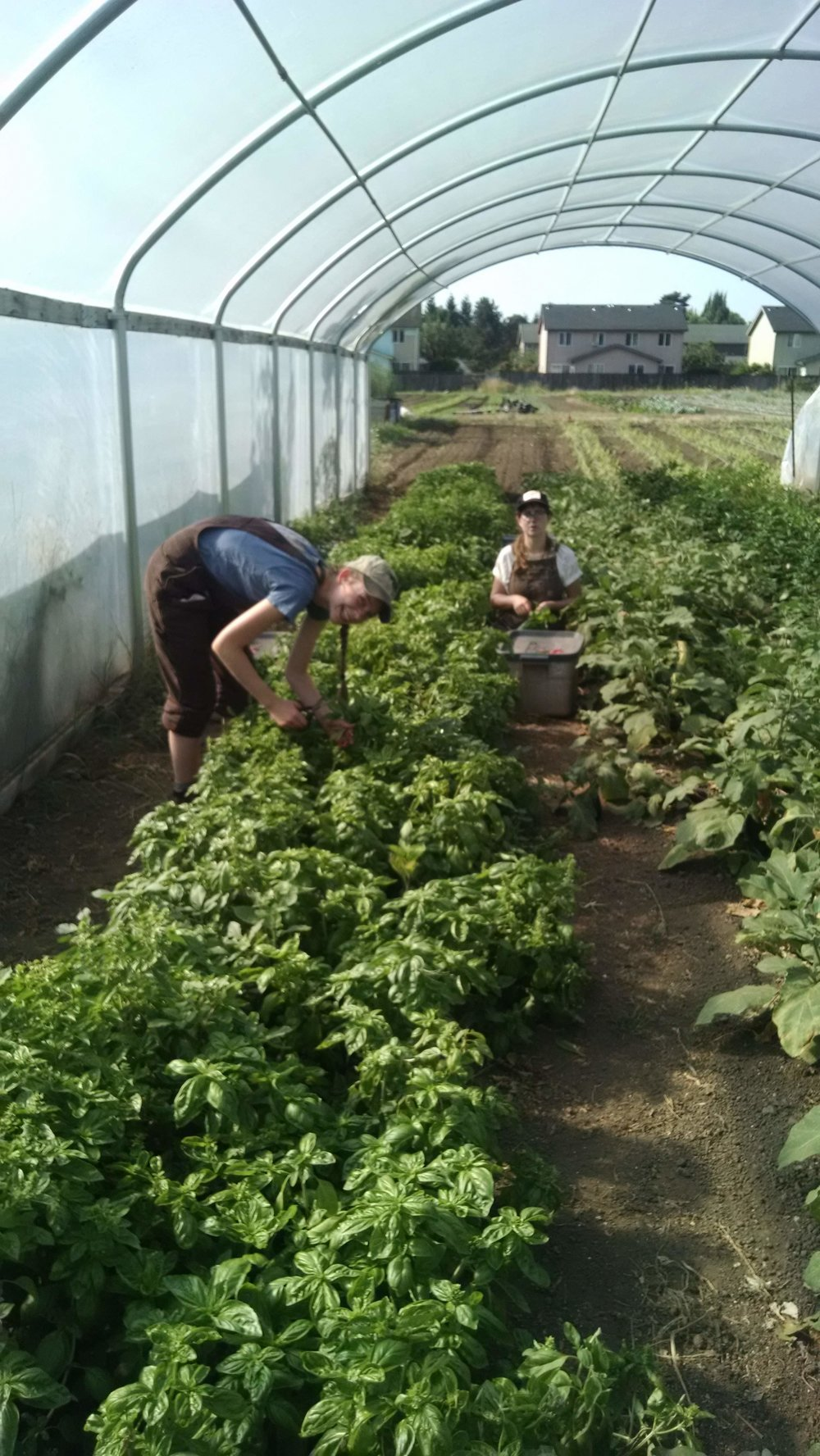 Alex and Sophie harvesting basil bunches for CSA