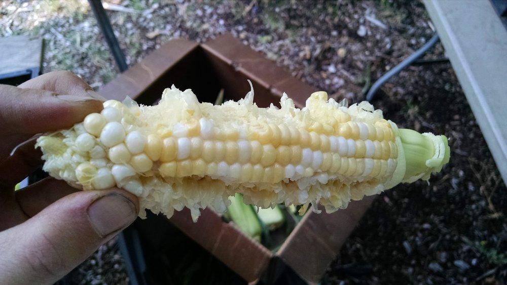Fresh raw corn is THE BEST!