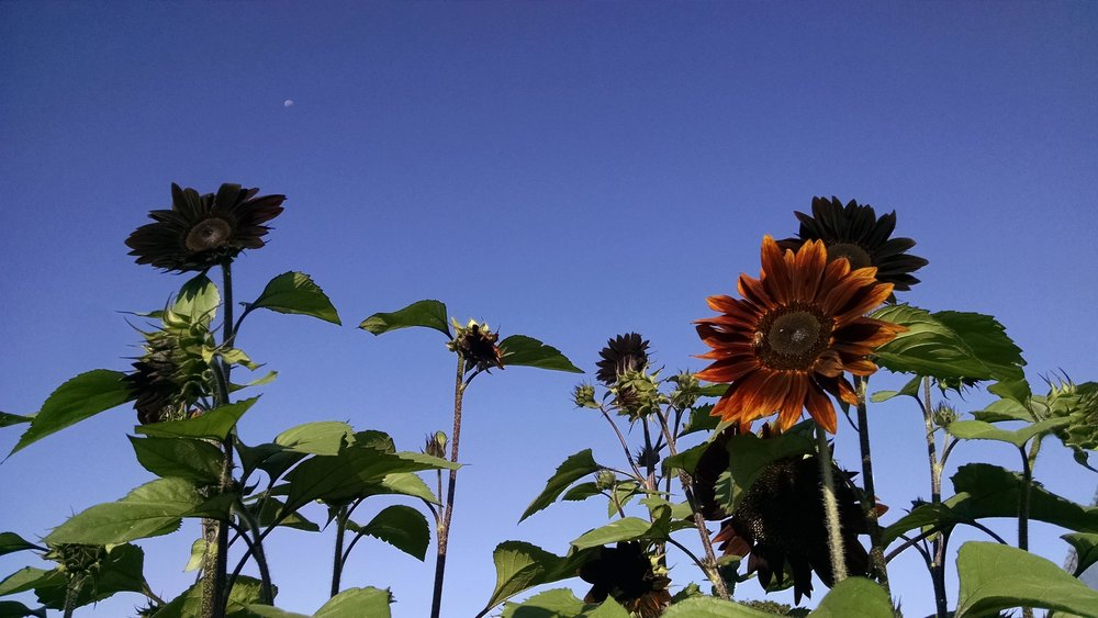 Waning moon over sunflowers