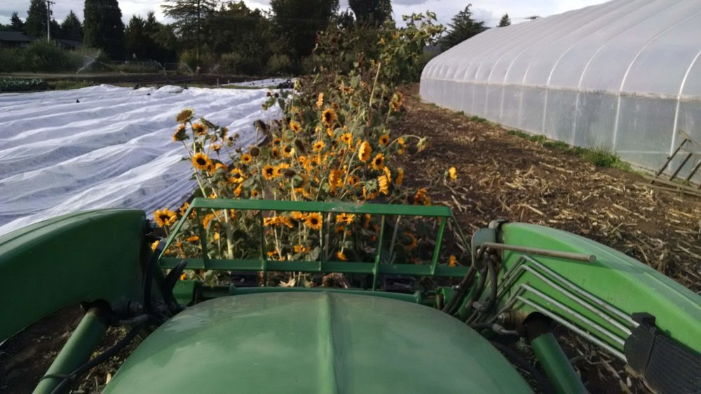 Tilling in the sunflowers