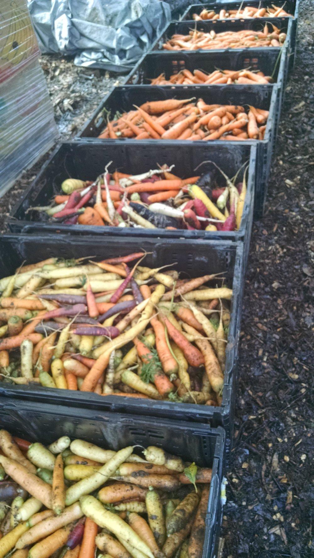Small fall carrot haul