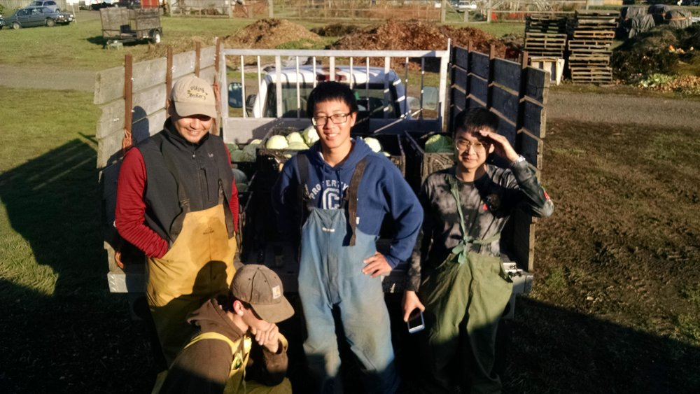 Extra help for cabbage harvest