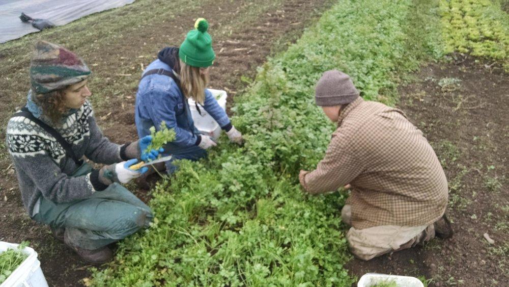 Harvesting all the cilantro