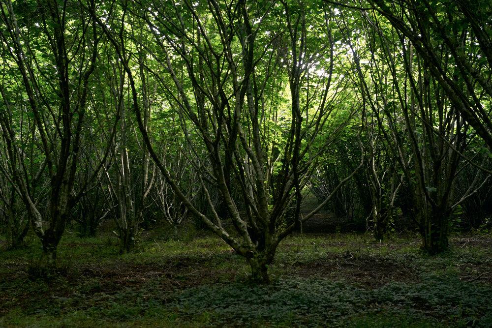 Property - Hazelnut orchard 1.jpg