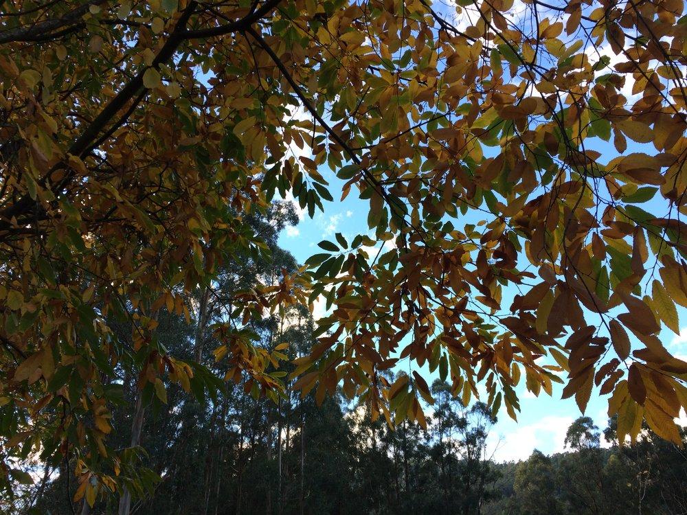 chestnuts autumn.jpg