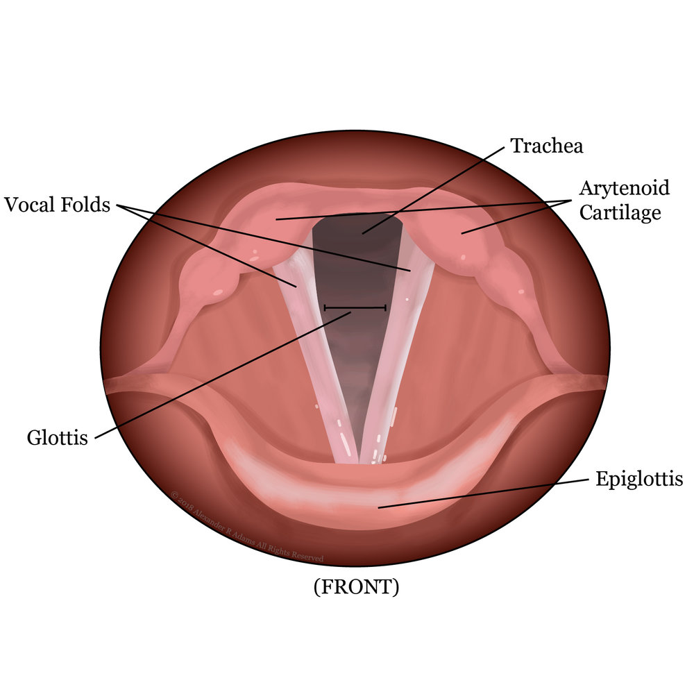 Vocal Folds Open