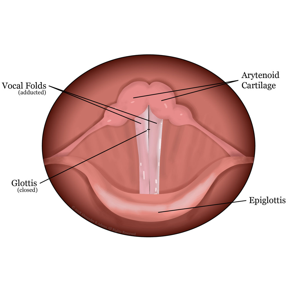 Vocal Folds Closed
