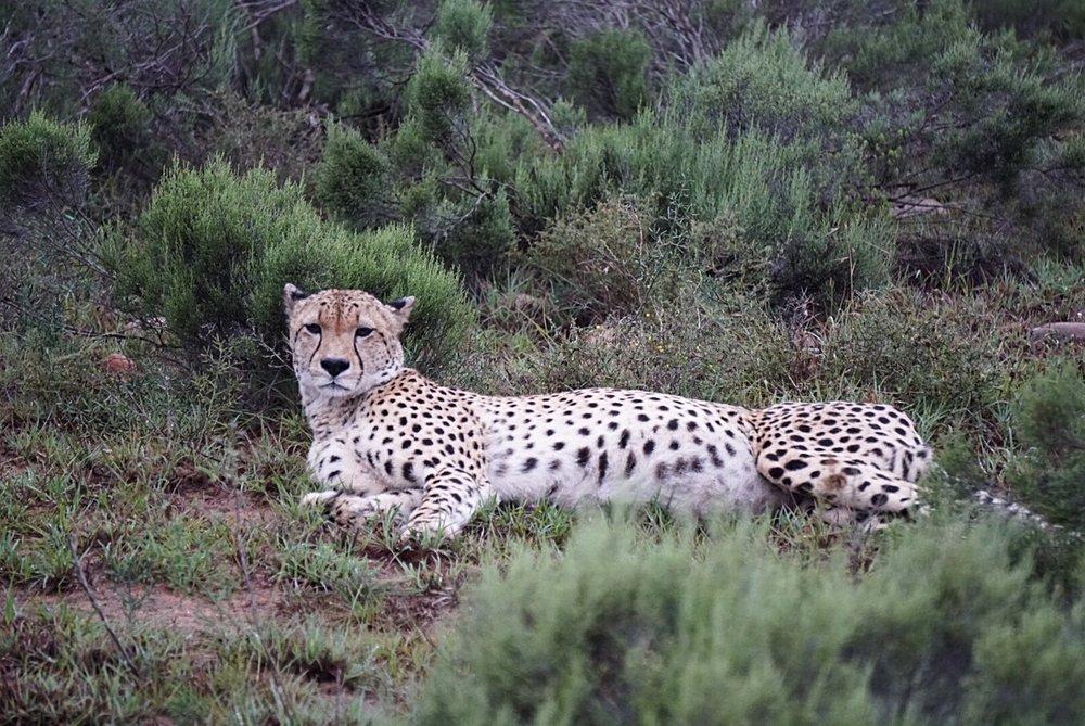 African Cheetah