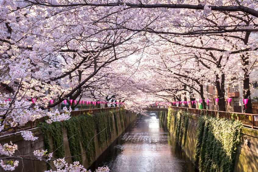 The cherry trees that line the  Meguro River  in Tokyo!