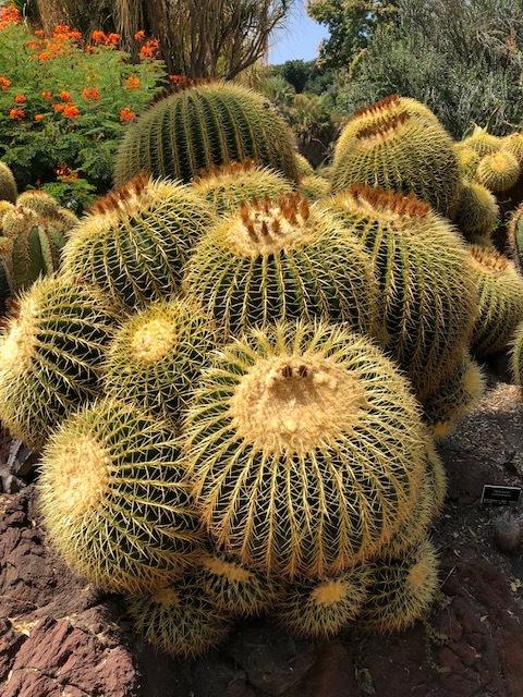 The Golden Barrel Cacti!