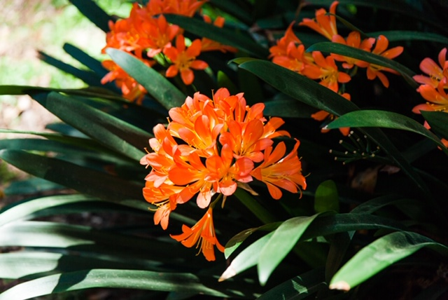 These clivia flowers are blooming all over the gardens!