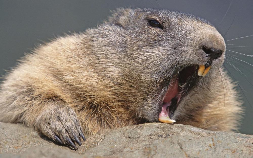 Angry-Beaver.jpg