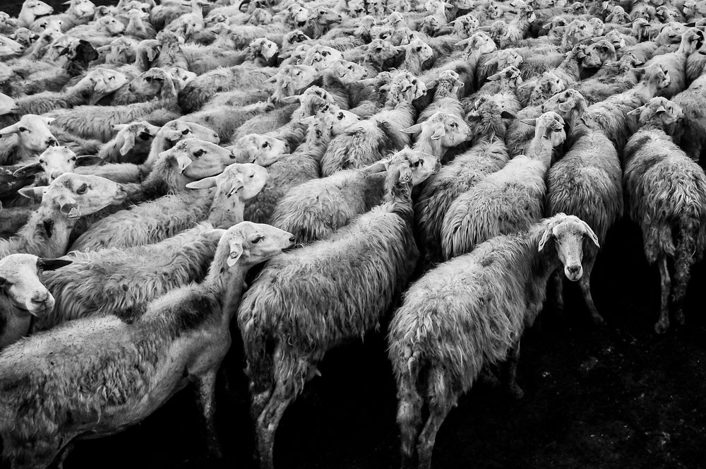 Are you a sheep blindly following others?