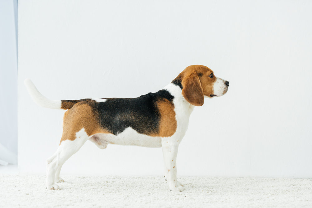 How Your Condo Can Benefit from Bed Bug Sniffing Dogs in Brooklyn, NY