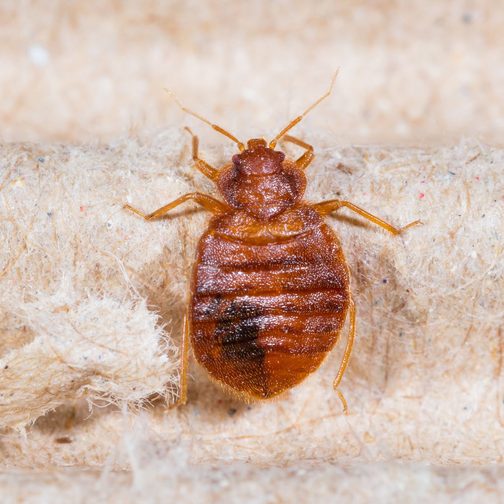 Bed Bugs in the Office Building? Hire an NYC Exterminator Immediately
