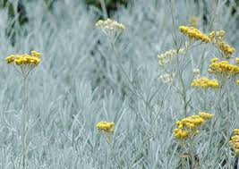 "The botanical name is Helichrysum italicum or ""Italian straw flower"". The little sturdy beauty is also called ""Curry Flower"", because of her distinctive smell."
