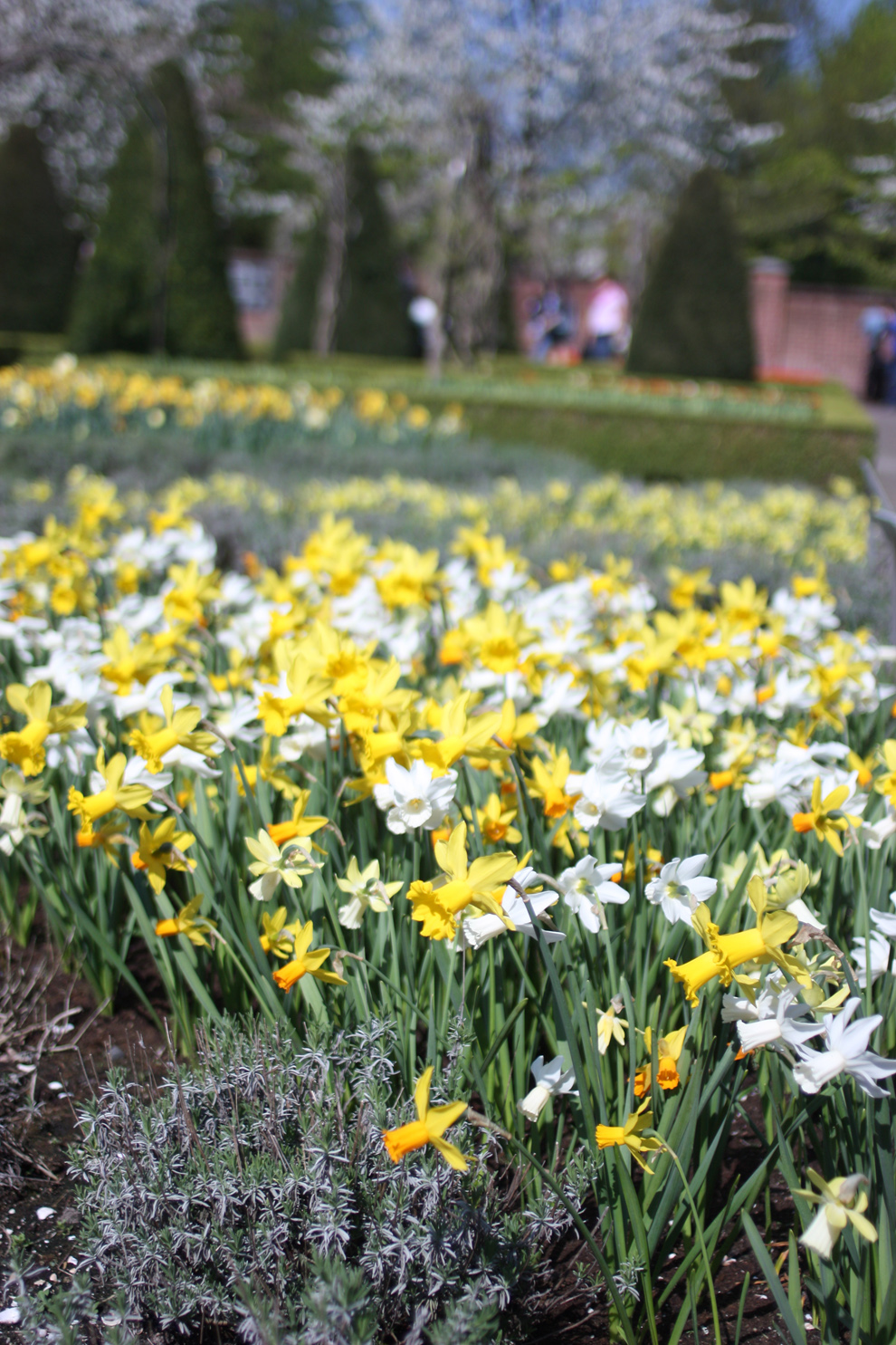Keukenhof_daffodils_field.jpg