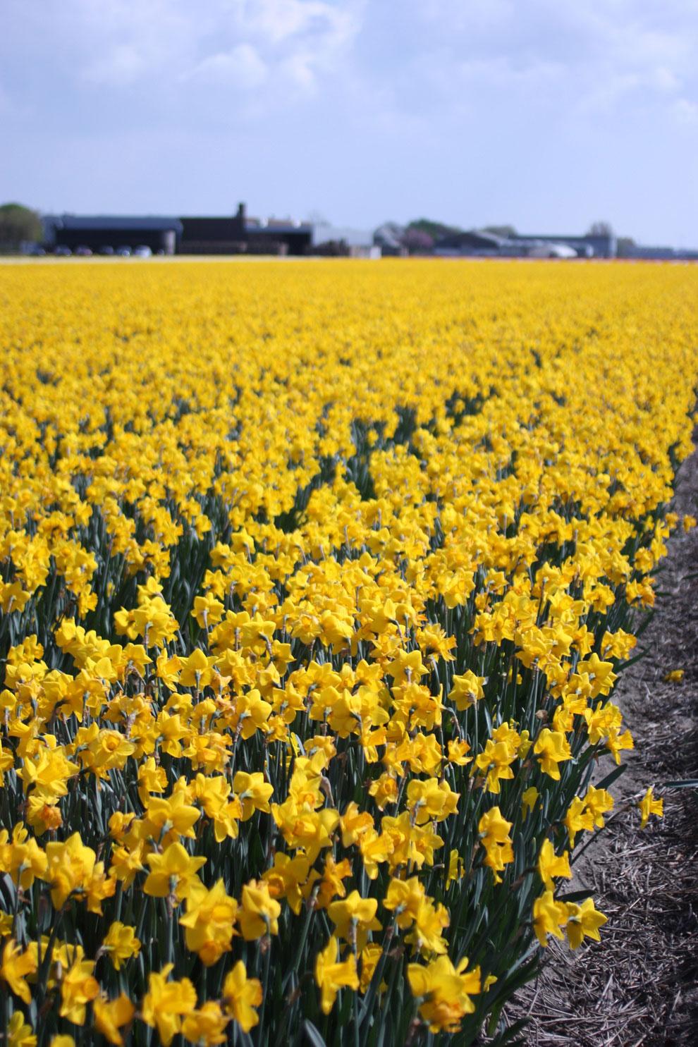 Keukenhof14_daffodils_field.jpg