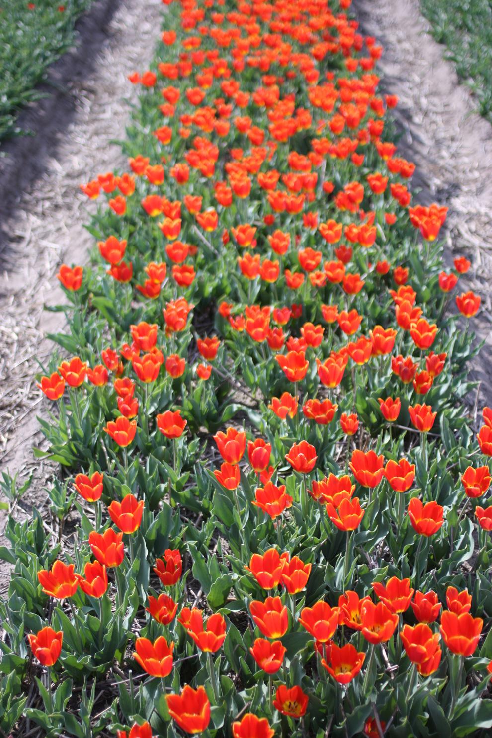 Keukenhof_tulip_field_pink.jpg