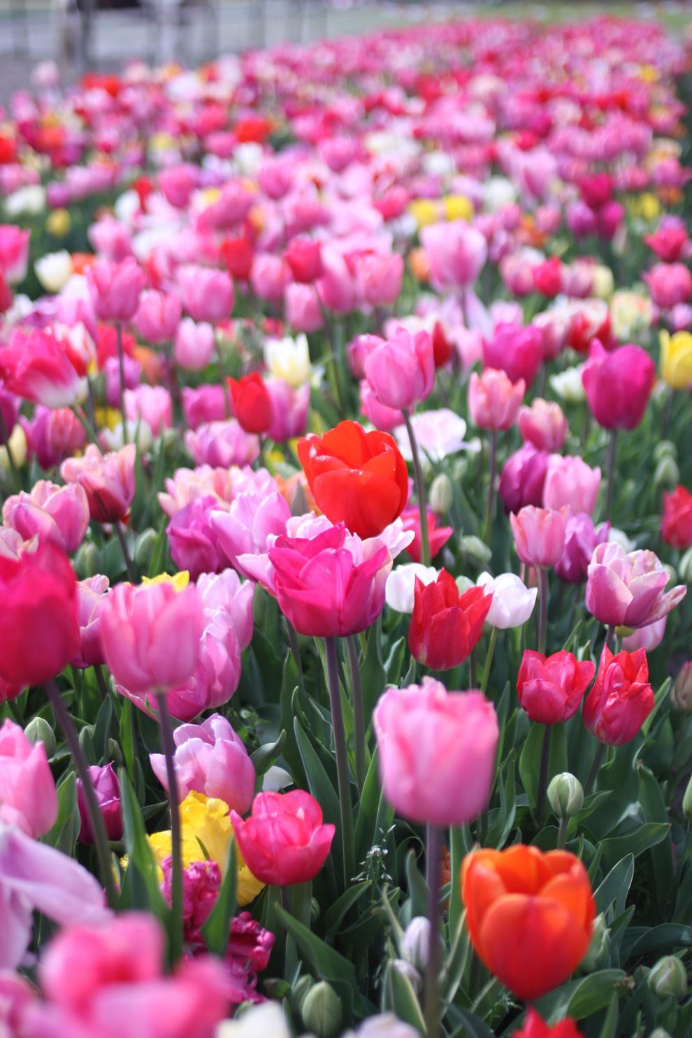 Keukenhof14__Annemiekes_Pluktuin_pnik_tulips1.jpg