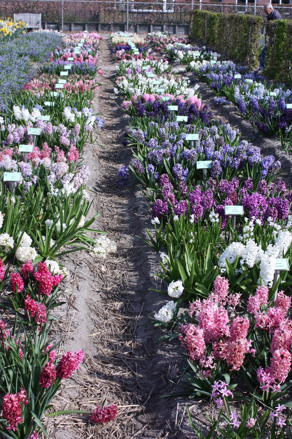 field-of-hyacinths.jpg