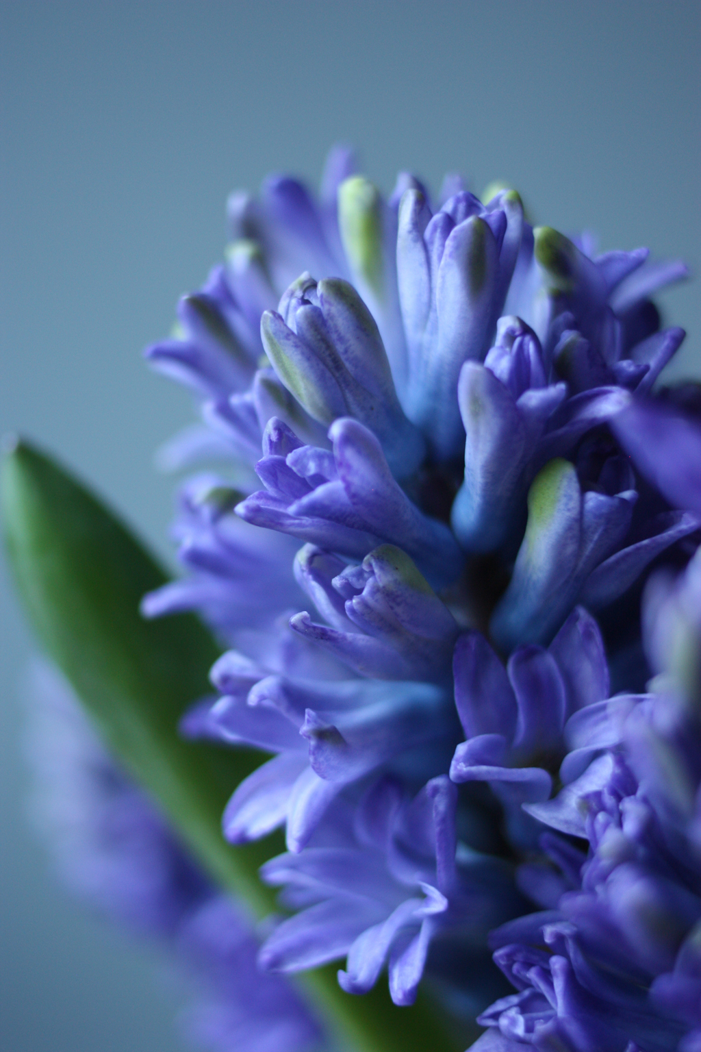 2 flower girls - hyacinths close up