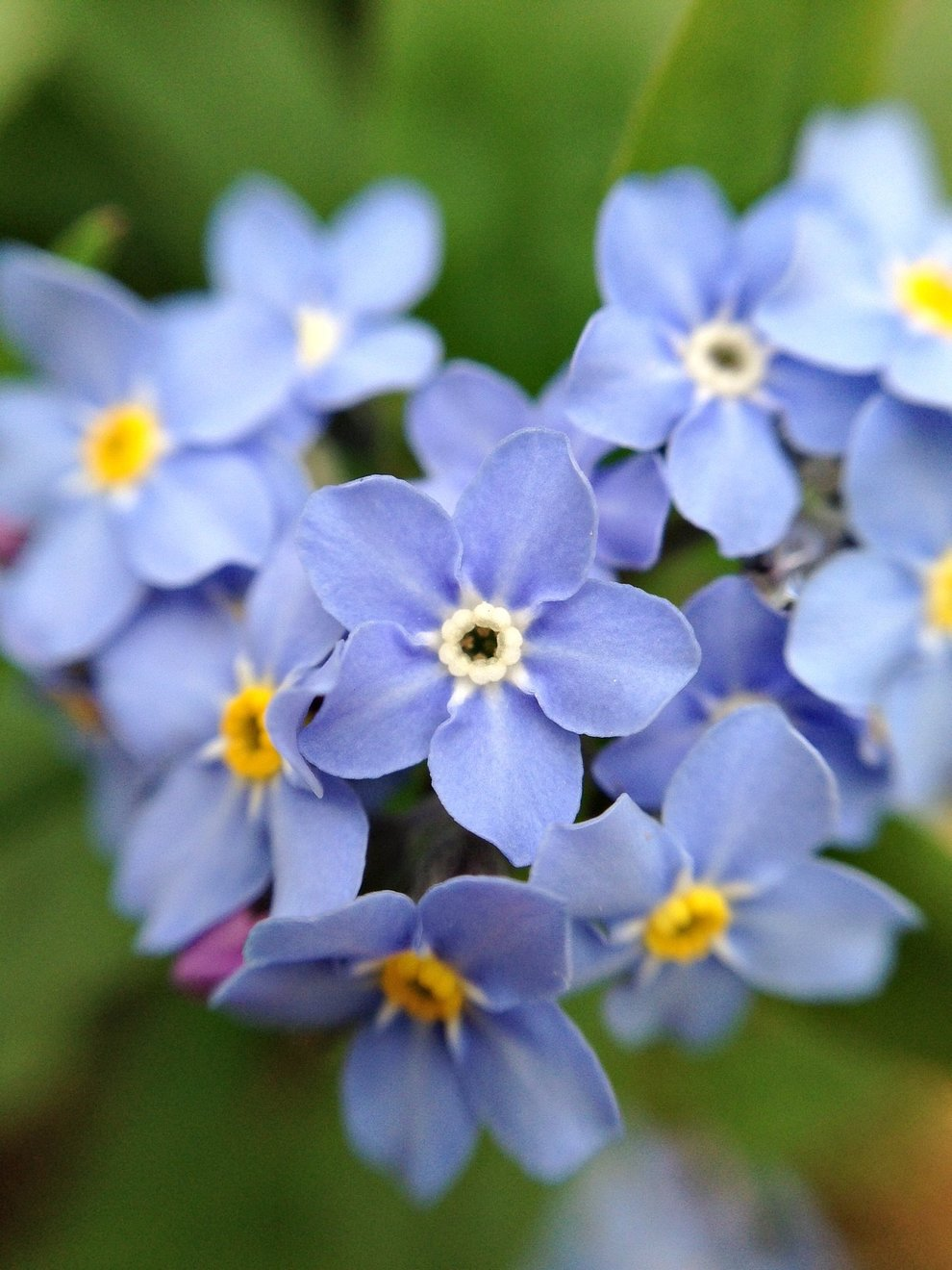 forget_me_not_fleuropean