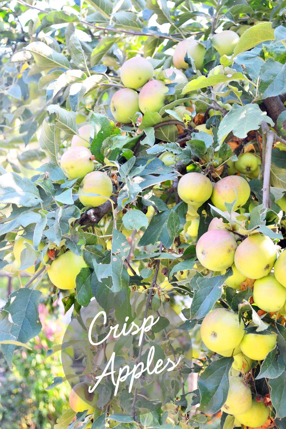 apples_igor