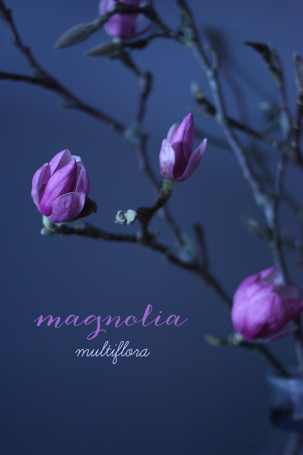 Magnolia_multiflora_blog