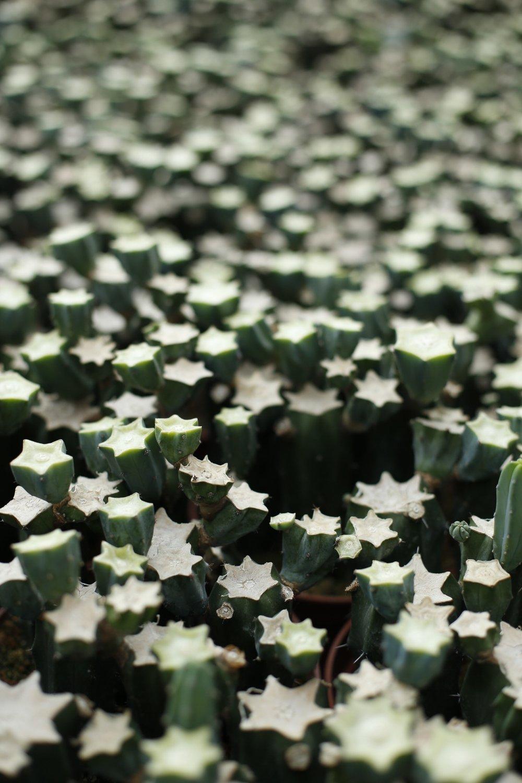 Starform cactus