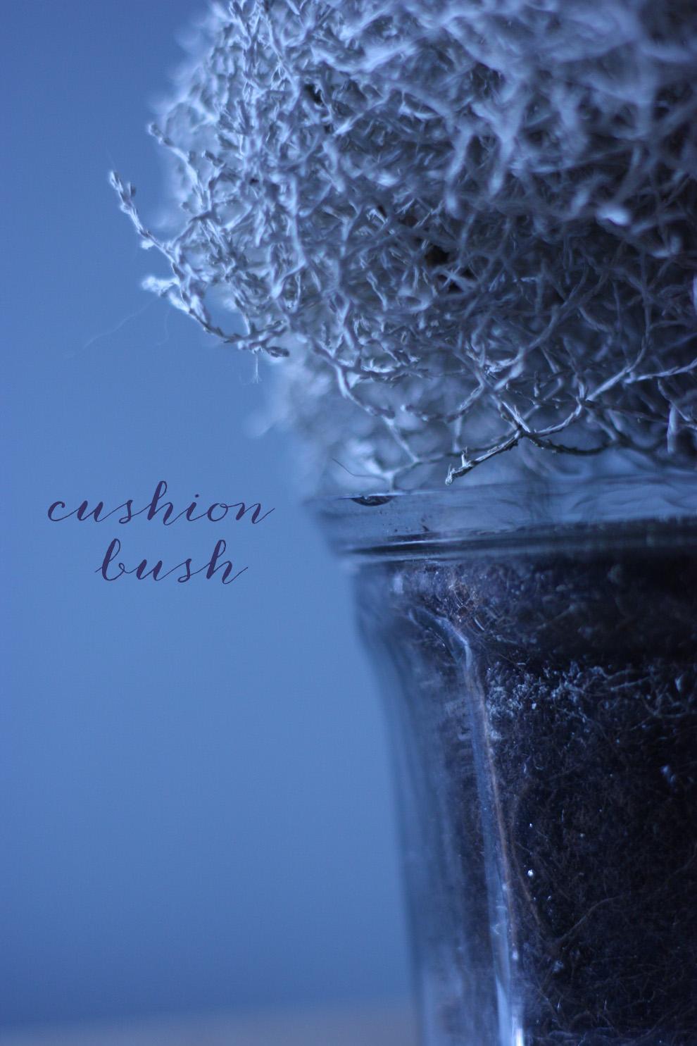 Cushion Bush