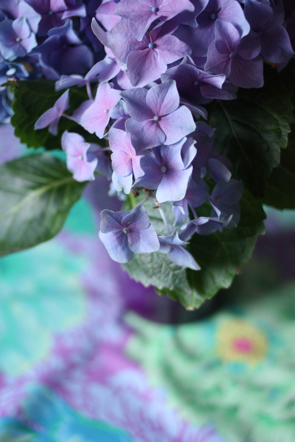 Hortensia_blue_close_up