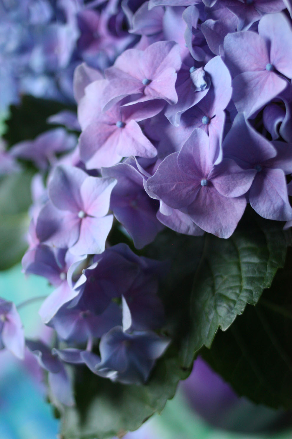 Hortensia_blue_detail
