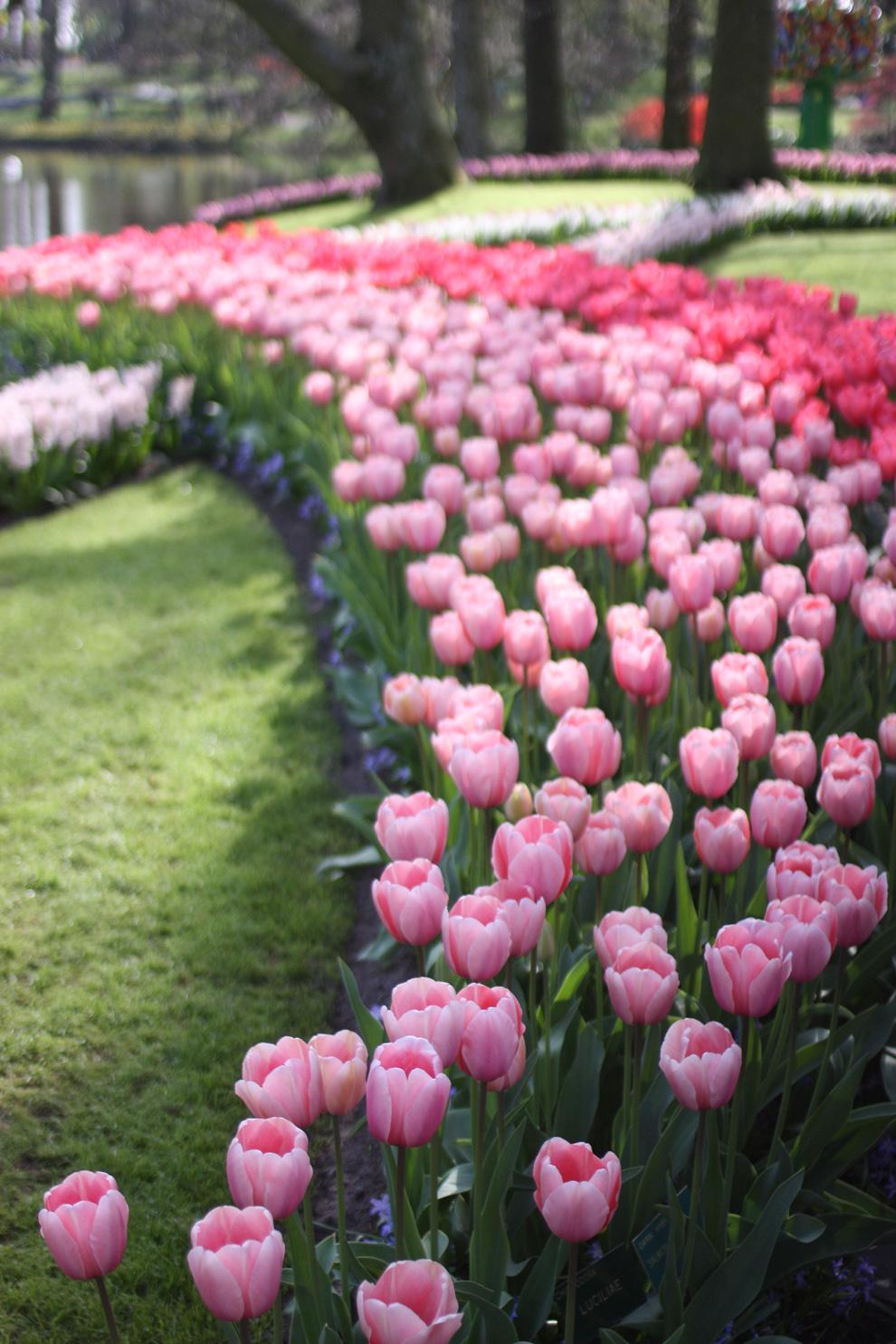 Keukenhof pink tulips