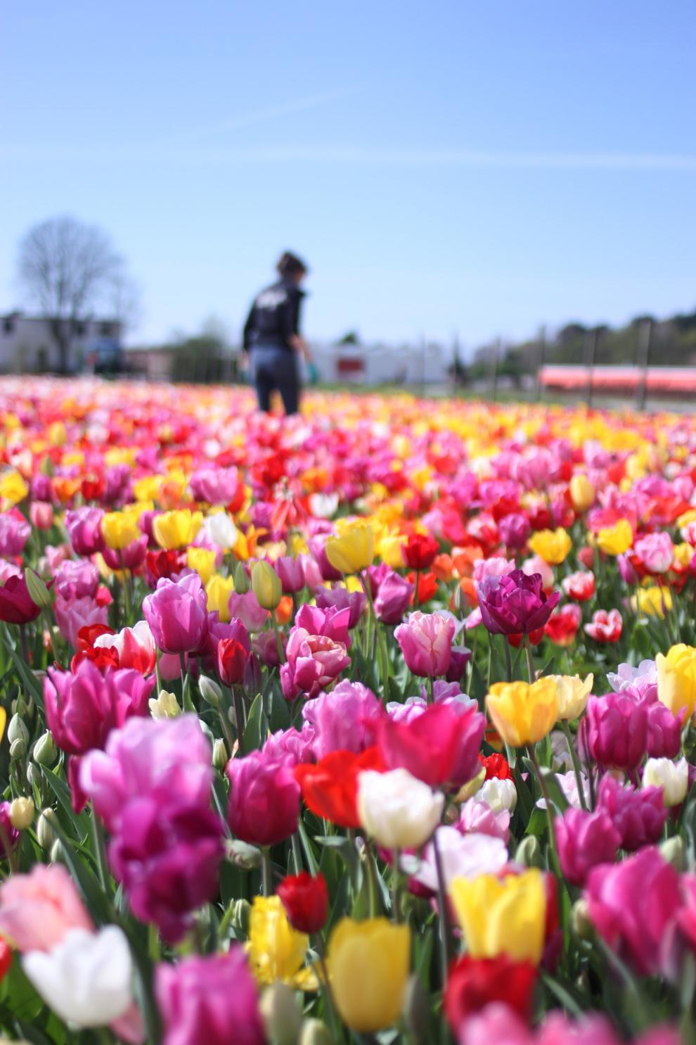 Keukenhof14__Annemiekes_Pluktuin_picking_the_tulips