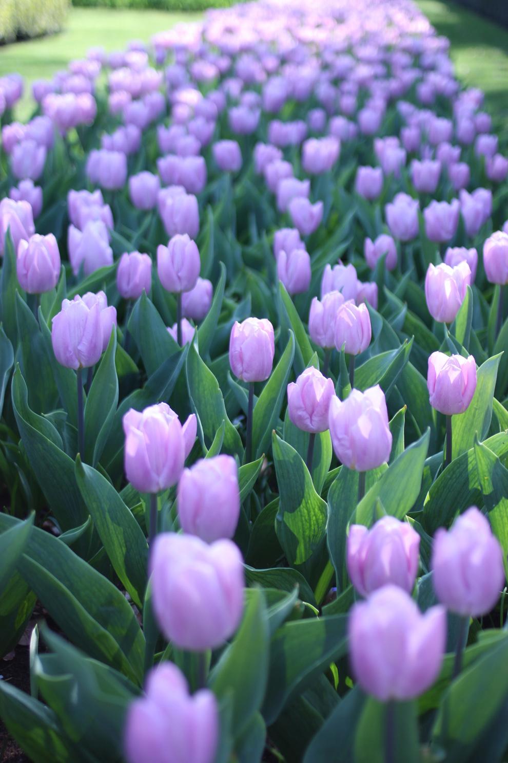 Keukenhof_purple_tulips